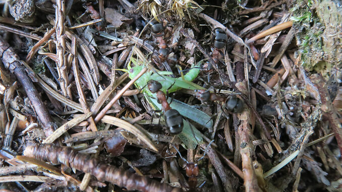 Kleine Nuetzlinge. Waldameisen trasnportieren das Kadaver einer Heuschrecke. CC BY SA 4.0 Isabelle Trees Frauenkappelen Switzerland