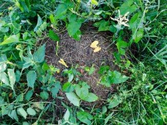Nester finden Wiesenameise (Formica-pratensis). CC BY SA 4.0 Isabelle Trees Frauenkappelen Switzerland