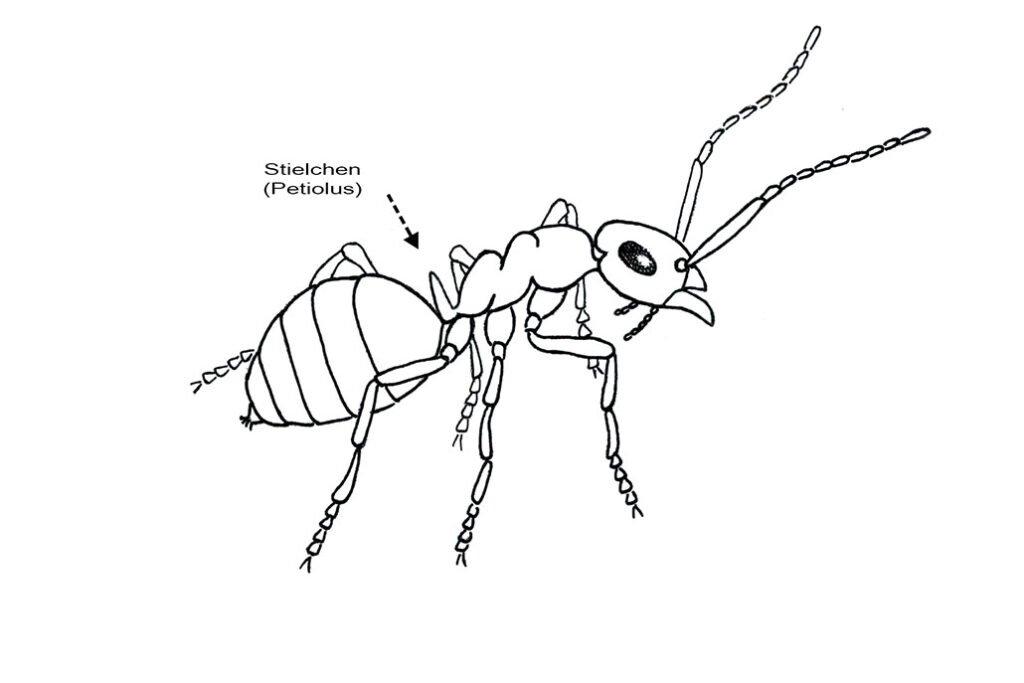Zeichnung. Schuppenameise mit Stielchen (Petiolus). CC BY SA 4.0 Isabelle Trees Frauenkappelen Switzerland