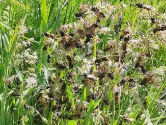 Maennchenschwarm der Waldameise Formica pratensis kurz vor dem Hochzeitsflug. CC BY-SA 4.0 Isabelle Trees Frauenkappelen Switzerland