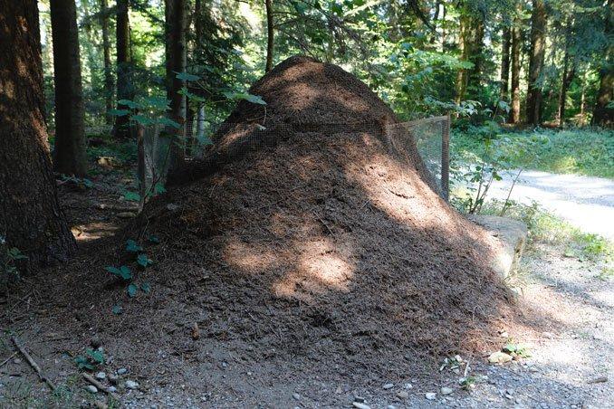 Ameisenhaufen waechst ueber Zaun als Schutzmassnahme hinaus CC BY SA 4.0 Isabelle Trees Frauenkappelen Switzerland