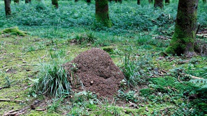 Gesucht Waldameisen. Kegelfoermiges Waldameisennest. CC BY SA 4.0 Isabelle Trees Switzerland