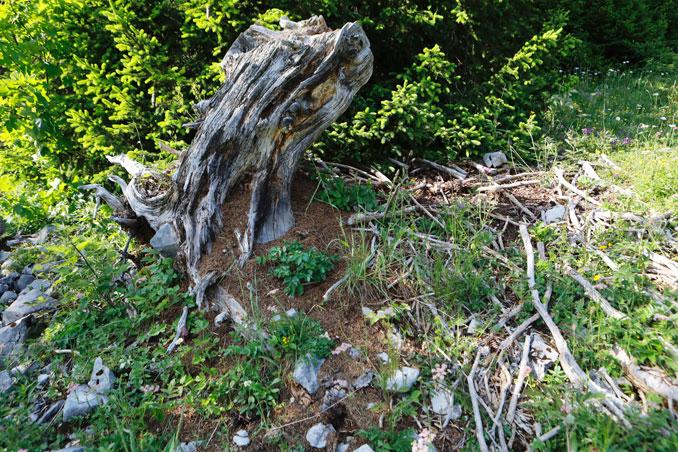 Nest von Formica truncorum an einem Baumstrunk. CC BY SA 4.0 Isabelle Trees Switzerland